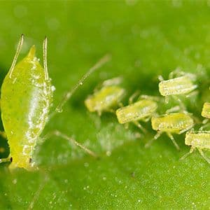 Aphid Treatments